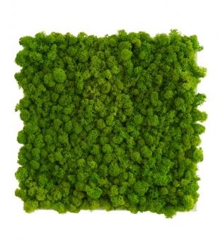 Pflanzenbild Islandmoos 55 x 55 cm
